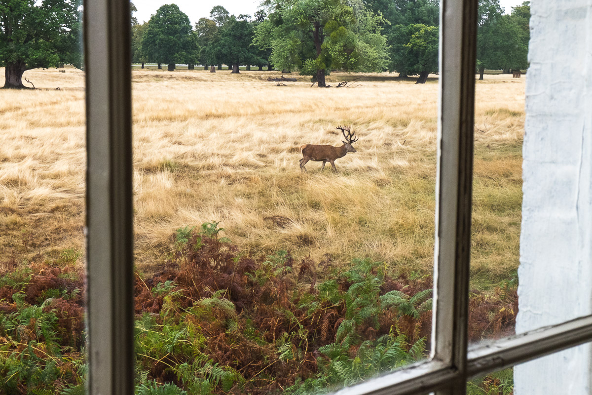 Looking through a window at a Red deer stag in Bushy Park, Surrey